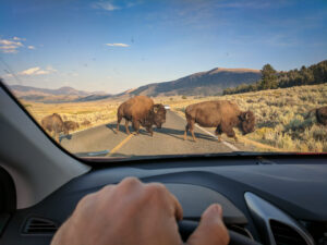 Bison crossing the road during golden hour in the Lamar Valley, Yellowstone National Park