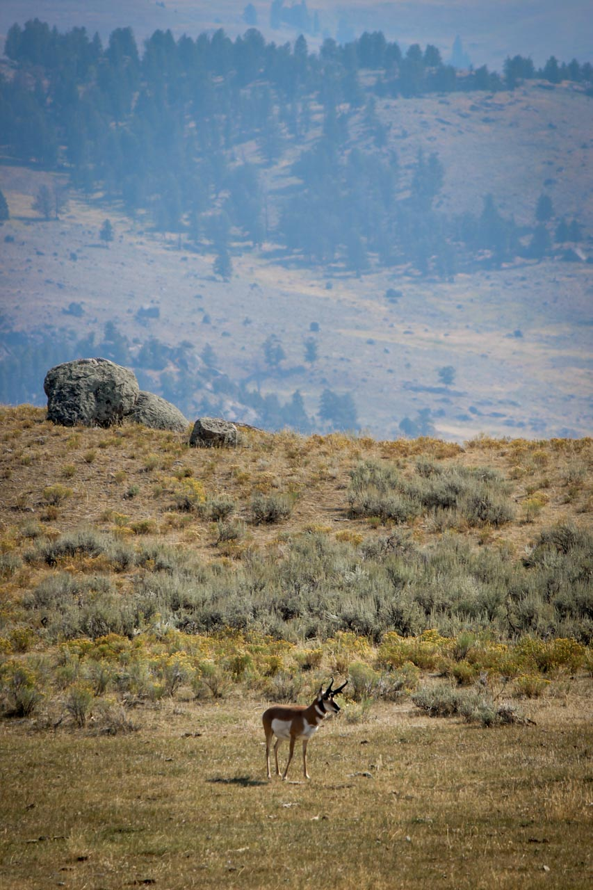 A lone elk in the Lamar Valley, Yellowstone National Park